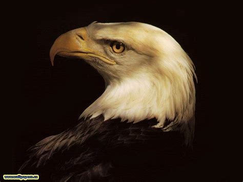 Humm3r Eagle Black With Real Pic eagle hawk wallpapers animals wiki pictures stories