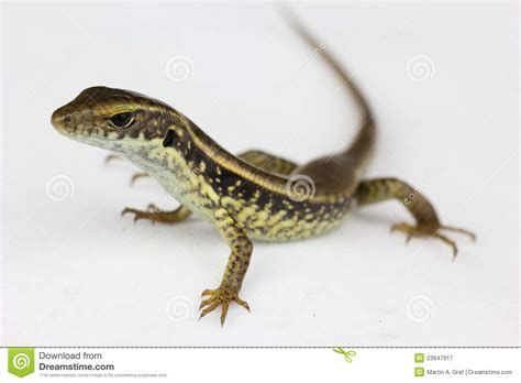 australian backyard lizards common lizard closeup royalty free stock photography