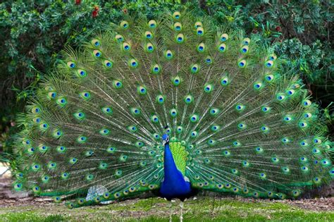 wallpaper merak biru why do peacocks dance in the rain 187 science abc
