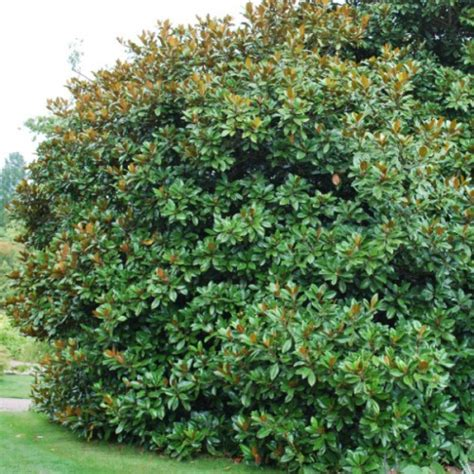evergreen magnolia trees types pictures to pin on pinterest pinsdaddy