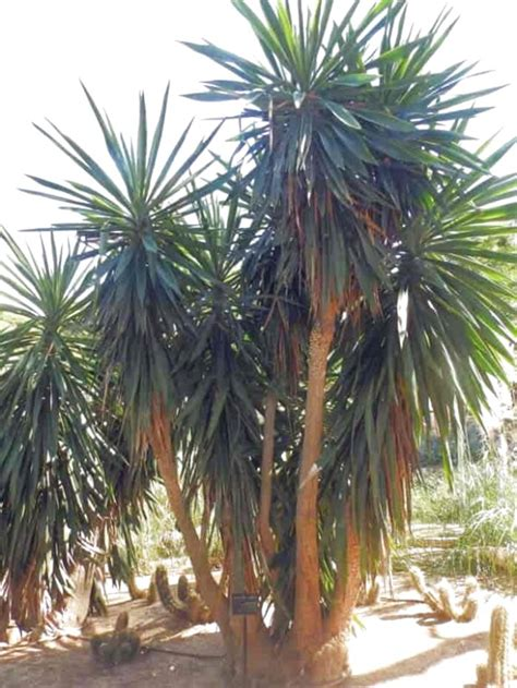 yucca plant outdoor  sale  uk view  bargains