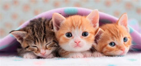 imagenes de gatitos blancas tiernas gatitos issuespost