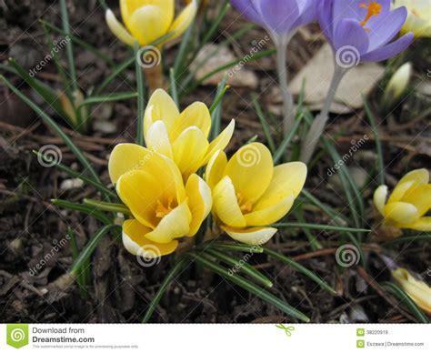 fiori di neve i fiori di fioritura nel tempo di primavera con una neve