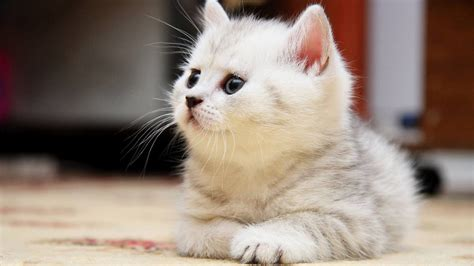 lovely cat hd wallpapers free pictures download hd lovely cat hd wallpapers free pictures download hd