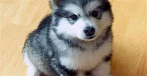 half husky and half pomeranian pomsky half pomeranian and half husky want now siberian huskies i