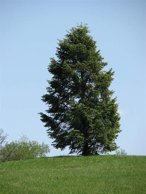 picture of tree file conifer tree in park jpg wikimedia commons