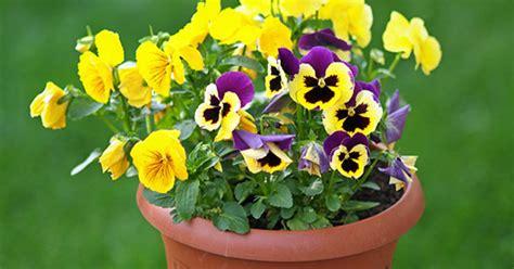 primule in vaso primule coltivazione e cura greenstyle