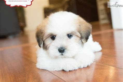 how to puppy cut shichon dogs meet male a cute shichon puppy for sale for 1 099 teddy