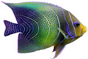 Tropical Fish Png fish central has all your tropical fish and