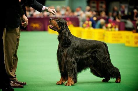 setter dog groomer 218 best setters images on pinterest english setters