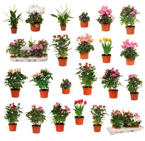 plantas florales de interior plantas de interior que florecen todo el a 241 o plantas