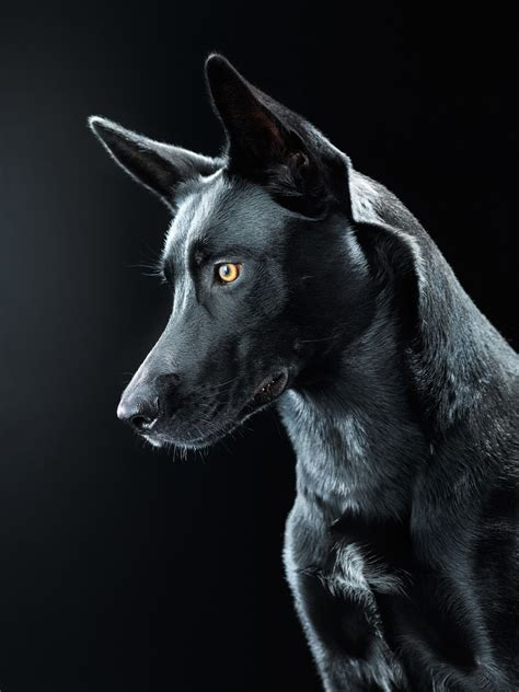 black dog black dog bagheera on behance