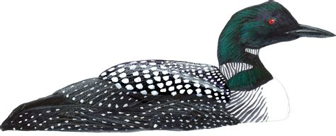 common loon john muir laws