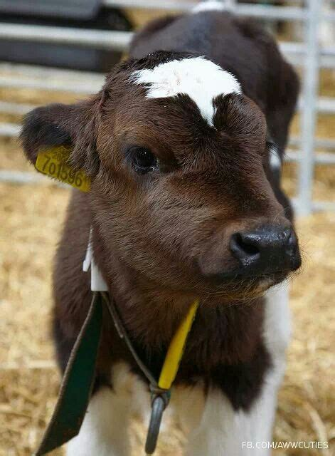 Look At That Farm Animals best 25 baby cows ideas on cows cow and