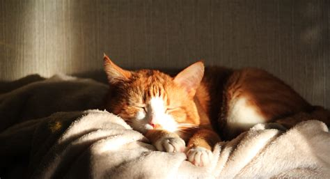 How To Comfort A Cat In Heat by Free Images Sun Home Closeup Heat Nap Nose