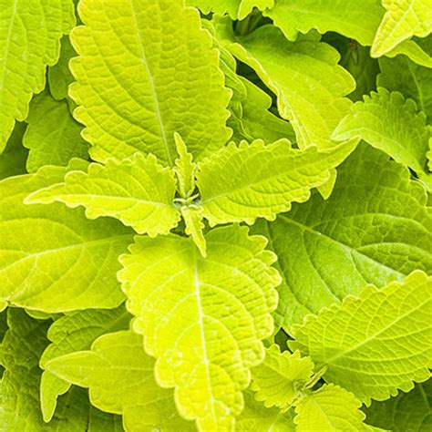 colorblaze 174 lime time coleus solenostemon scutellarioides proven winners