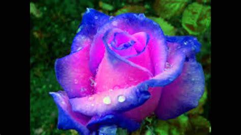 imagenes de rosas las mas hermosas las flores mas lindas youtube