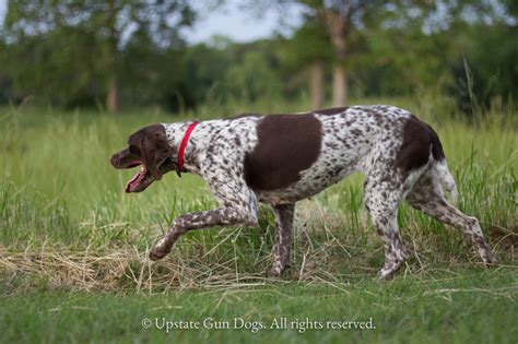 braque francais puppies sale braque francais history boykin spaniels and other gun dogs available for sale