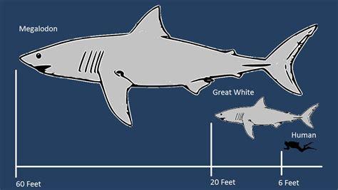 megalodon shark size prehistoric shark megalodon skeleton www pixshark com