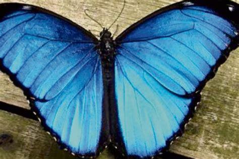 imagenes de mariposas morfo azul vuelan colores en el museo miraflores