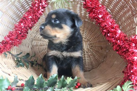 rottweiler puppies in nj rottweiler puppies for sale in nj myideasbedroom