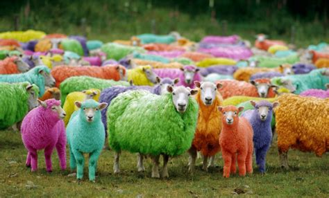 colored sheep we you colour test studio beat