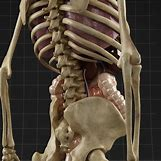 Male Human Anatomy Stomach | 600 x 600 jpeg 55kB