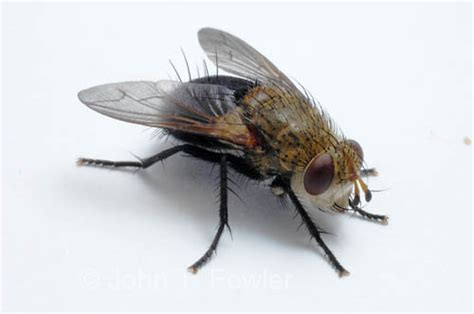 how long does a house fly live pest info