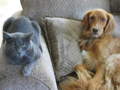 golden retriever with blue russian blue and golden retriever russian blue and golden retriever mylot