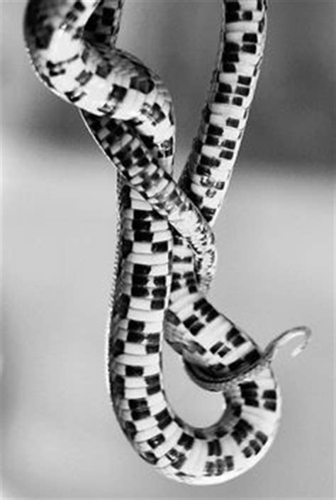 snake pattern black and white 1000 images about corn snakes on pinterest corn snake