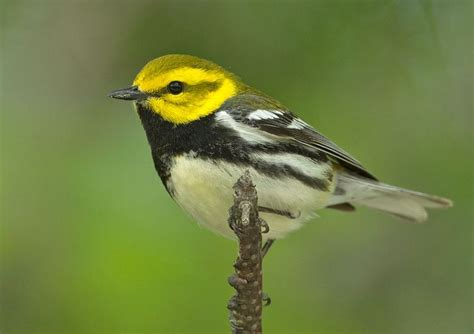 1000 images about birds of manitoba on pinterest