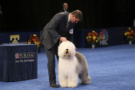 Best In Show Puppy 15kg the national show winner looks like an adorable chewbacca shawn miller