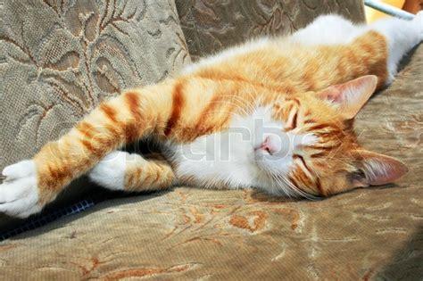 katze uriniert auf sofa sleeping rote katze auf sofa stockfoto colourbox