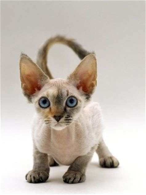 Cats With Minimal Shedding by 380 Best Images About Kitkat Kraze 2 On Bengal Kittens For Sale Shorthair
