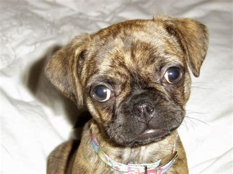 pug boston terrier mix it s a bog boston terrier pug mix and they end up looking a lot like boxers want