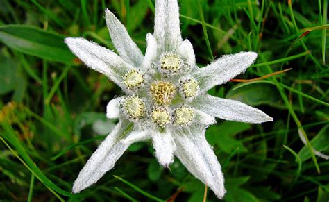 nomi fiori di montagna fiori di montagna attenti a quelli protetti non potete