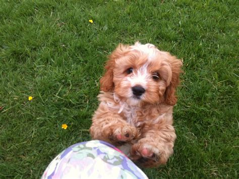 cavapoo puppies breeders cavapoo puppies for sale f1 truro cornwall pets4homes