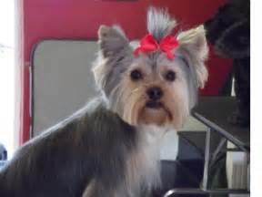 yorkie teddy haircut puppy cut pets pinterest