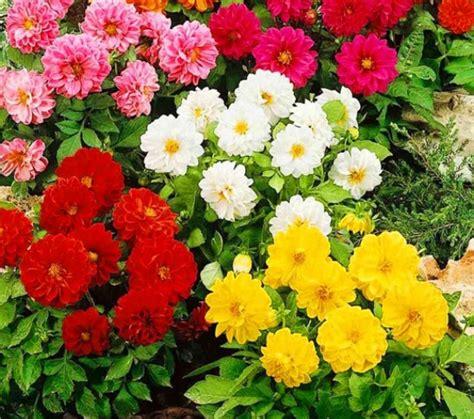 cara menanam bunga dahlia dari biji http bibitbunga cara menanam bunga dahlia dari