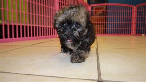 havanese puppies for sale indiana adorable havanese puppies for sale in at puppies for sale local breeders