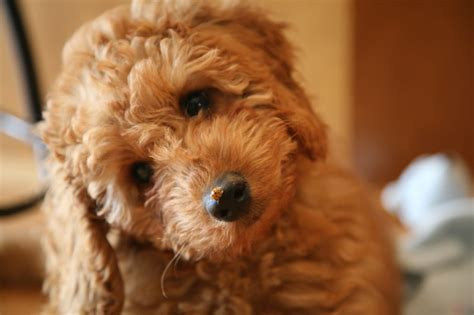 labradoodle puppies mn medium australian labradoodle breeders puppies for sale in mn heartland labradoodles