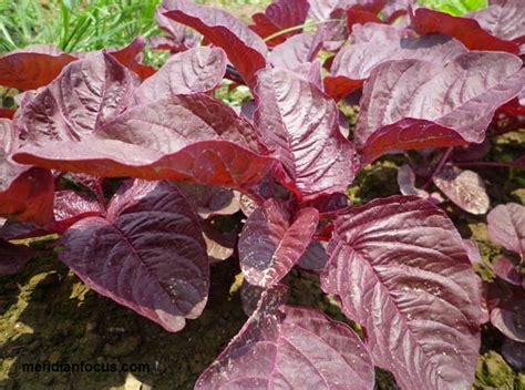 Benih Sayur Bayam Loreng Bayam Merah Hijau Untuk Kesehatan bayam merah sahabat darah info sehat keluarga