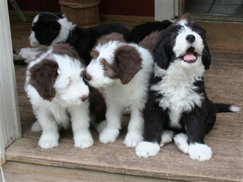 bearded collie puppy bearded collie breed guide learn about the bearded collie
