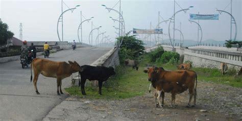 hewan ternak berkeliaran di pidie jaya waspada