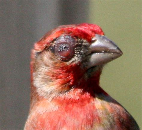 house finch conjunctivitis hfconjunc