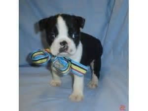 boston terrier puppies jacksonville fl boston terrier puppies for sale boston bug puppies for sale in fleming island orange park