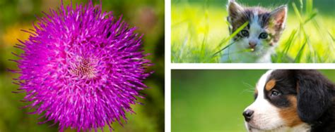 milk thistle for dogs nhv pet products
