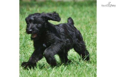 Non Shedding Hybrid Dogs by Non Shedding Hybrid Breeds Breeds Picture