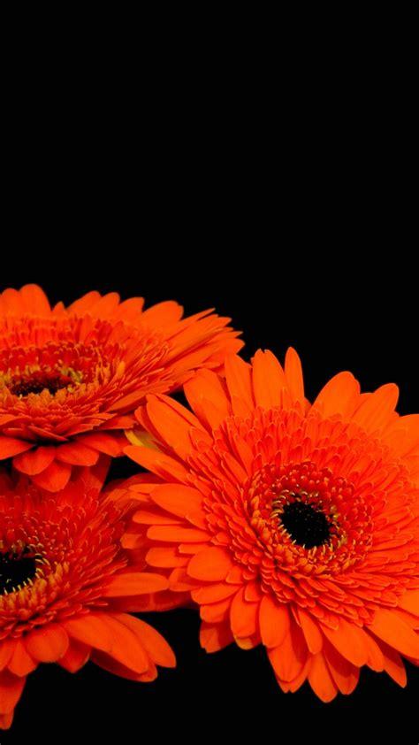 wallpaper gerbera flowers orange gerber daisies dark