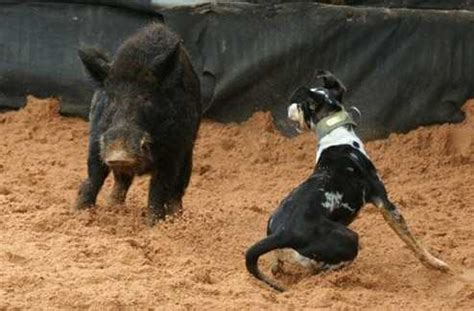 hogs and dogs fighting mad